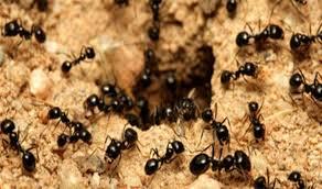 ants lots